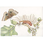MARIA SIBYLLA MERIAN - Metamorfosi - ORIGINAL DRAWING